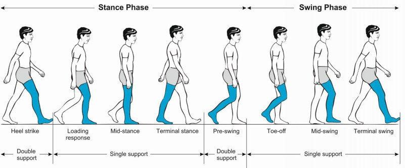 Stance phase and swing phase
